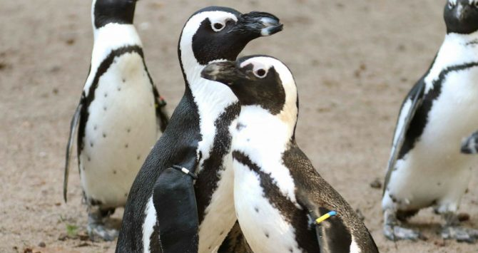 Gay penguin couple steal eggs from lesbian birds in order to become dads